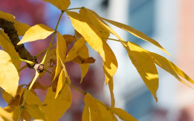 A close up of yellow fall leaves.