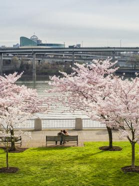 cherry blossoms on the downtown river front