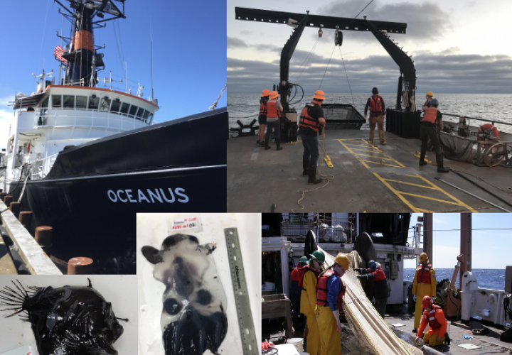 A mosaic of images from Dr. Lindgren's research including: the research vessel Oceanus, students sampling animals from a net, an anglerfish and a vampire squid