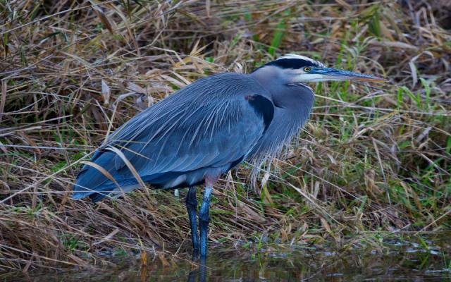 Great Blue Heron at Ridgefield National Wildlife Refuge.