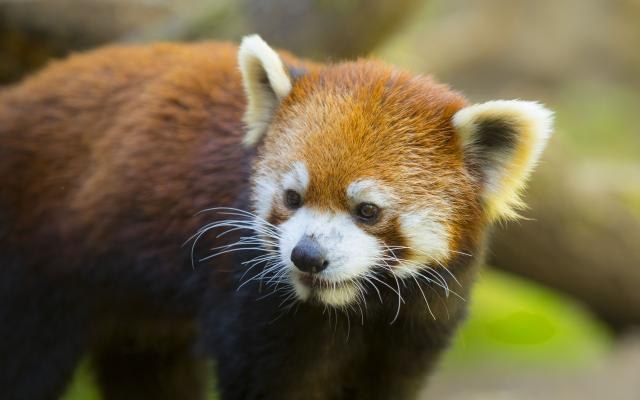 A close-up of a red panda at the Oregon Zoo